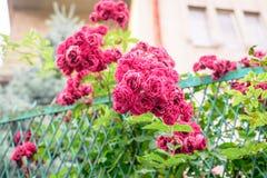 Flores de Rosa arbusto Fotografia de Stock