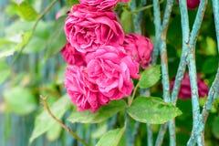 Flores de Rosa arbusto Imagem de Stock