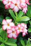 Flores de Rosa de deserto Imagens de Stock