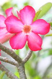 Flores de Rosa de deserto Imagem de Stock