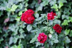 Flores de Rosa e papel de parede verde blured das folhas imagem de stock