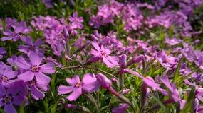 Flores de Rosa no jardim fotos de stock royalty free