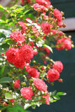 Flores de rosas que suben Foto de archivo