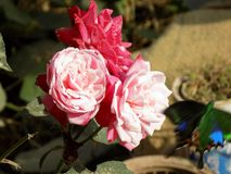 Flores de Rose Imagen de archivo libre de regalías