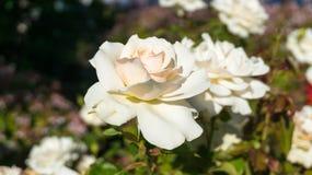 Flores de Rose Imagen de archivo