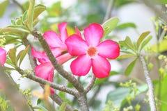 Flores de Rose de desierto Imagenes de archivo