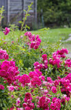 Flores de Rose en el jardín imagen de archivo