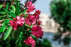 Flores de Rose en foco con las hojas verdes foto de archivo libre de regalías