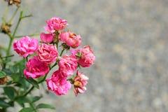 Flores de Rose en la naturaleza Fotos de archivo libres de regalías