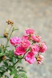 Flores de Rose en la naturaleza Foto de archivo libre de regalías
