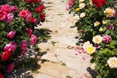 Flores de Rose en la plena floración a ambos lados del camino imágenes de archivo libres de regalías