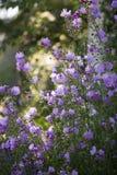 Flores de Rose Mallow Imagen de archivo