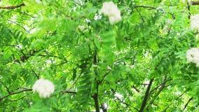 Flores de Rowan video estoque