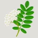 Flores de Rowan vermelho com folhas verdes, elemento do projeto imagens de stock