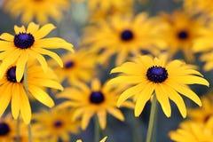 Flores de Rudbekia Fotos de archivo libres de regalías