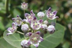 Flores de Rui imagen de archivo