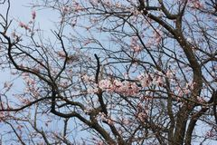Flores de Sakura, árvores de sakura Imagem de Stock Royalty Free
