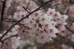 Flores de Sakura imagens de stock royalty free