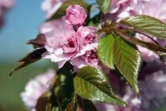 Flores de Sakura Fotografía de archivo