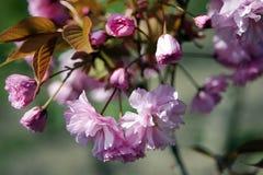 Flores de Sakura Foto de archivo