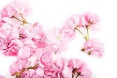 Flores de Sakura Fotos de Stock Royalty Free