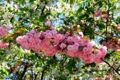 Flores de sakura Imagem de Stock Royalty Free