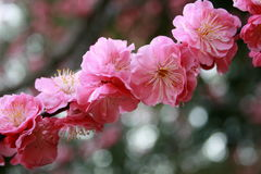 Flores de Sakura Imagen de archivo libre de regalías