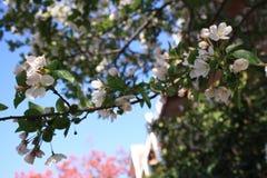 Flores de Sakura Cherry Fotos de archivo libres de regalías