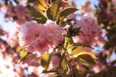 Flores de Sakura Cherry Imagenes de archivo