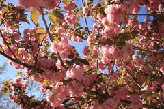 Flores de Sakura Cherry Foto de archivo