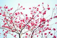 Flores de sakura da flor de cerejeira Fotos de Stock Royalty Free