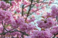 Flores de Sakura del borrachín, Imágenes de archivo libres de regalías