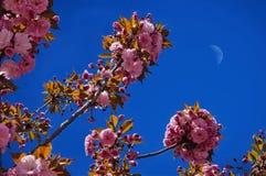 Flores de Sakura en el cielo azul imágenes de archivo libres de regalías