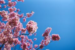 Flores de Sakura en flor imagen de archivo