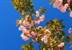 Flores de Sakura en jardín Foto de archivo libre de regalías