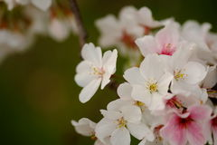 Flores de Sakura en Memphis Fotos de archivo