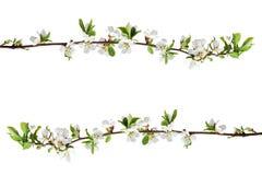 Flores de Sakura isoladas no fundo branco Imagens de Stock Royalty Free