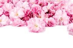 Flores de Sakura no fundo branco Imagem de Stock