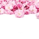 Flores de Sakura no fundo branco Fotos de Stock Royalty Free