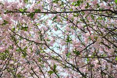 Flores de Sakura que florecen en primavera Cerezo en flor rosado Fotos de archivo libres de regalías