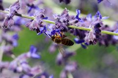 Flores de Salvia con una abeja Foto de archivo