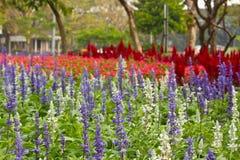 Flores de Salvis imagenes de archivo