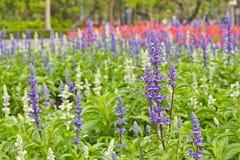 Flores de Salvis imagen de archivo