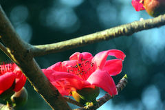 FLORES DE SANTINIKETAN: SHIMUL (Bombax) Imagen de archivo libre de regalías