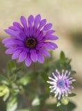 Flores de Scabius Foto de Stock