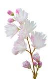 Flores de Scabra del Deutzia en el fondo blanco foto de archivo libre de regalías
