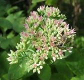 Flores de Sedum Imagenes de archivo