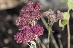 Flores de Sedum Fotografia de Stock Royalty Free