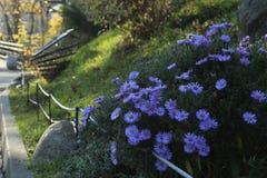 Flores de Sentyabrina Fotografía de archivo libre de regalías