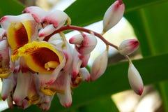 Flores de Shell Ginger en la floración Imagen de archivo libre de regalías